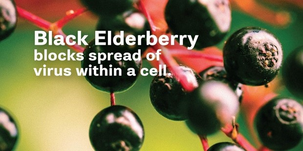 How black elderberry works on viruses?