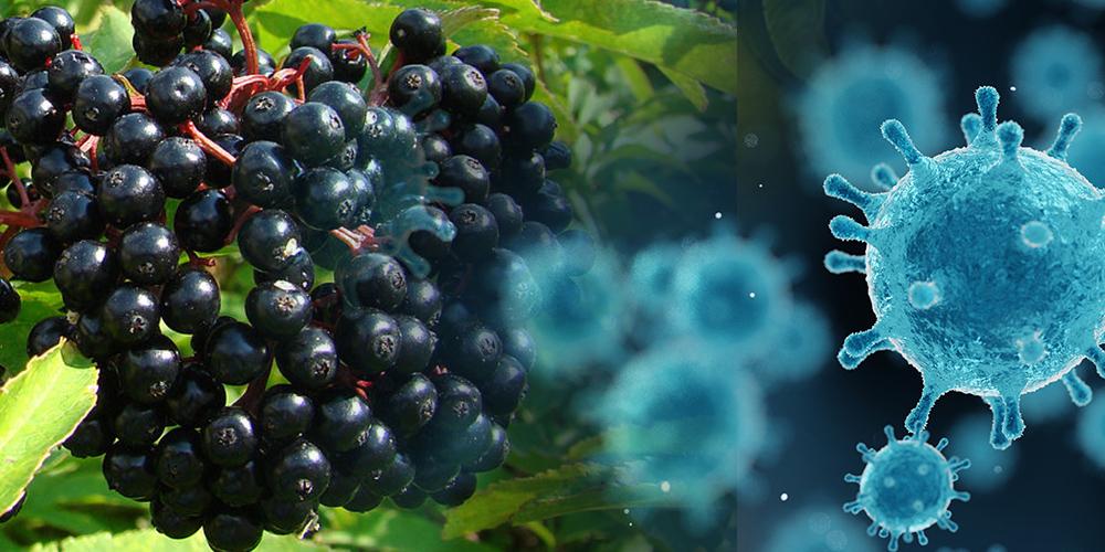 Black elderberry and its effect on viruses