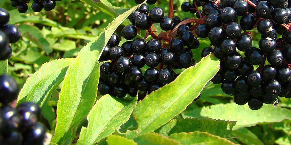 Studies have confirmed the effect of black elderberry – for a strong immune system